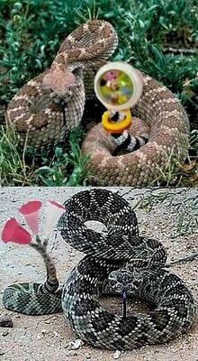 Serpenti a sonagli.jpg