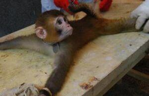 Scimmia legata.jpg