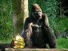 Gorilla con cacca d'oro.jpg